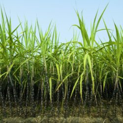 Did you Know: The Processing of Sugarcane
